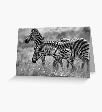 ZEBRA FAMILY IN BLACK & WHITE -  BURCHELL'S ZEBRA – Equus burchelli – Bontkwagga Greeting Card