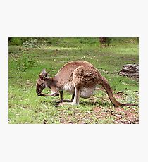 Kangaroo, Outback Australia Photographic Print