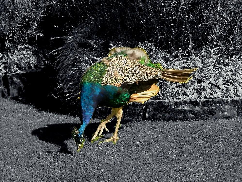 peacock by wacywoo