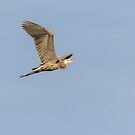 Great Blue Heron 2015-17 by Thomas Young