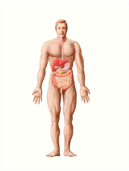 Láminas artísticas «Anatomía del sistema digestivo humano ...