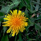 Behold The Humble Dandelion by Douglas E.  Welch