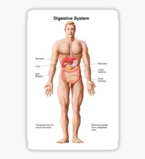 Anatomy of human digestive system, male representation. Sticker