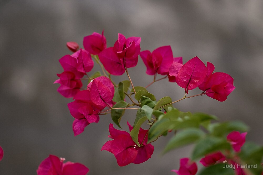 Bougainvillea by Judy Harland