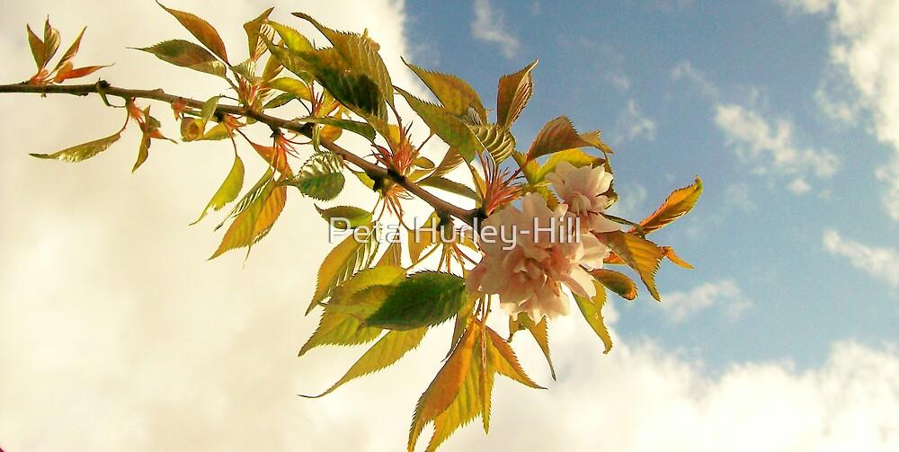 cherry blossom by Peta Hurley-Hill
