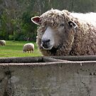 The Sheep by RosePhotography