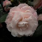 Pink Camellia with Raindrops by Douglas E.  Welch