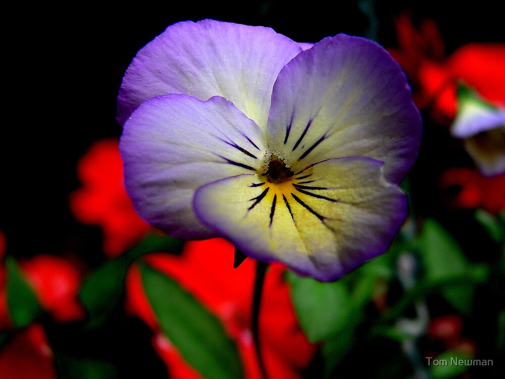 Pansy by Tom Newman
