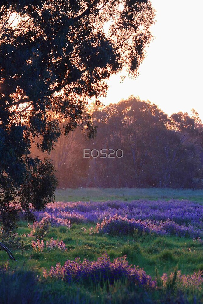 Pattersons Purple Weed At Sunset by EOS20