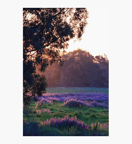 Pattersons Purple Weed At Sunset Photographic Print