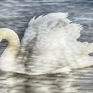 Swan Reflections by simpsonvisuals