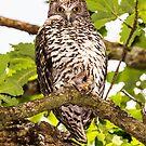 Powerful Owl  by Wildpix