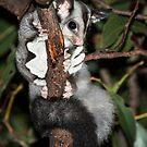 Squirrel Glider by Wildpix