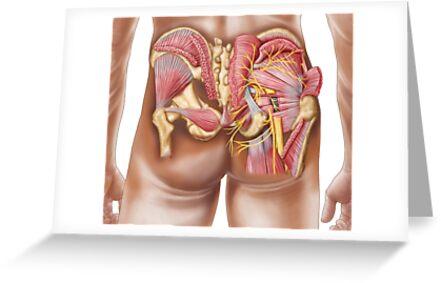 Tarjetas de felicitación «Anatomía de los músculos glúteos en las ...