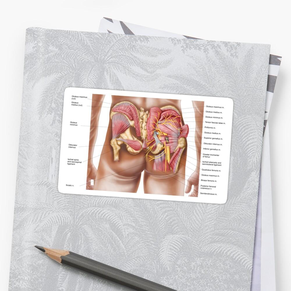 Pegatinas «Anatomía de los músculos glúteos en las nalgas humanas ...