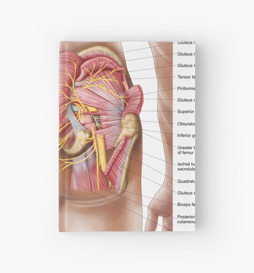 Cuadernos de tapa dura «Anatomía de los músculos glúteos en las ...