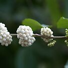 Berries Ripening from Green to White by Betty Mackey