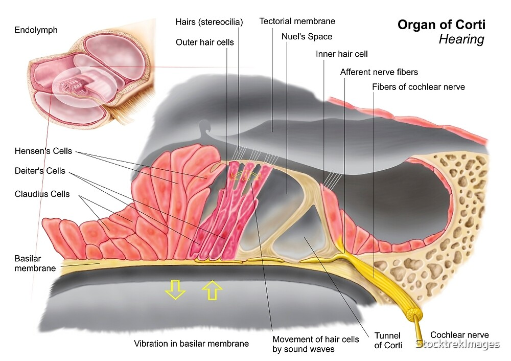 Anatomy of the organ of Corti, part of the cochlea of the inner ear ...