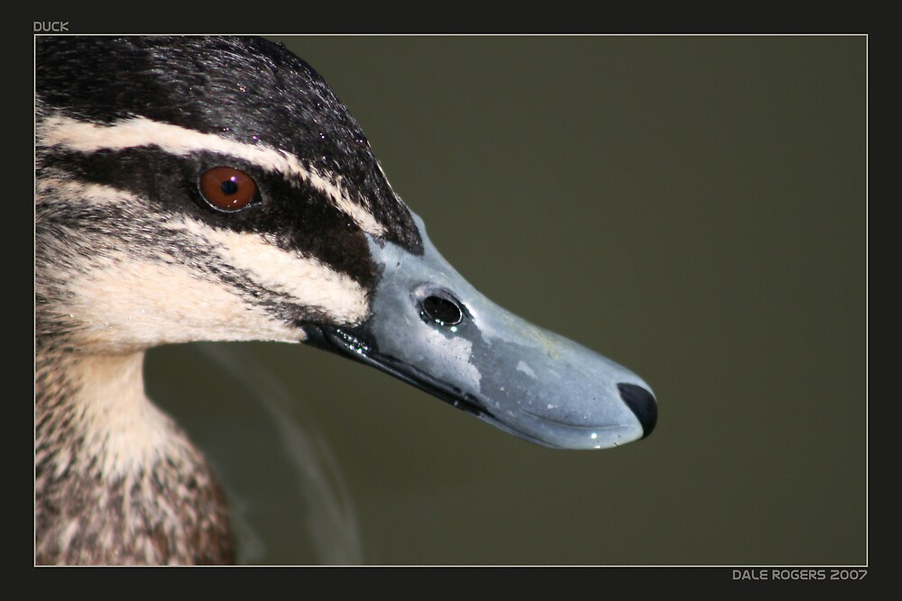 Duck by Photo Rangers