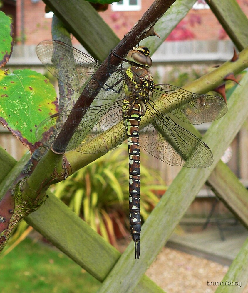 Dragonfly by brummieboy