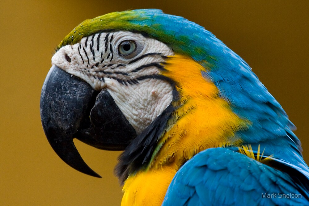 Blue & Yellow Macaw by Mark Snelson