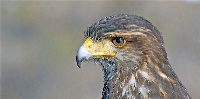 Immature Tiercel {male} Harris Hawk by raptrlvr