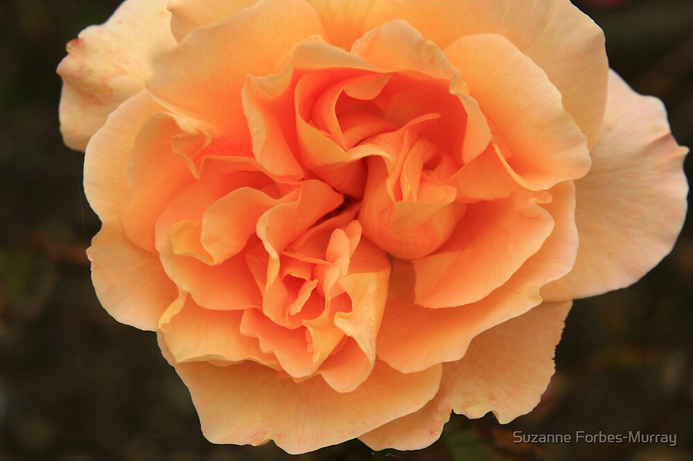 Peach Rose by Suzanne Forbes-Murray