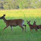 Twin Fawns and Mama Doe by Kelly Chiara