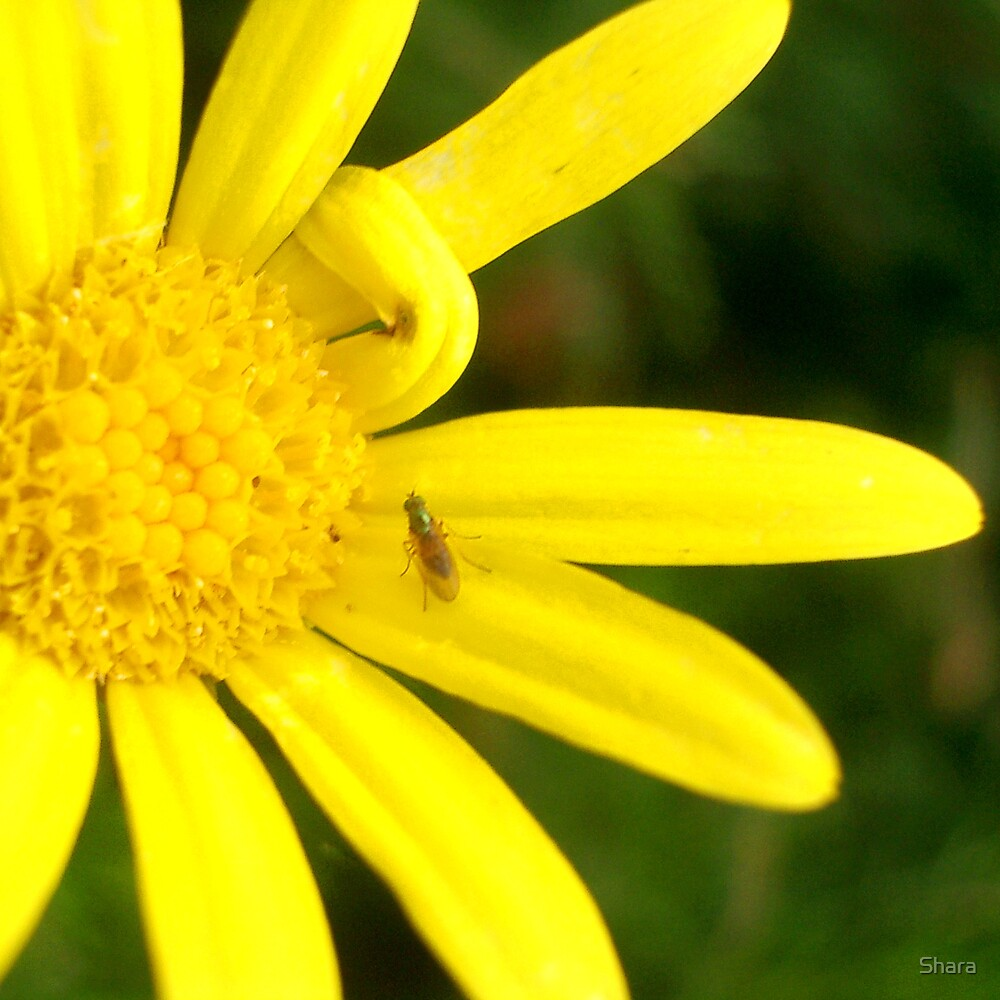 Yellow Daisy with Insect by Shara