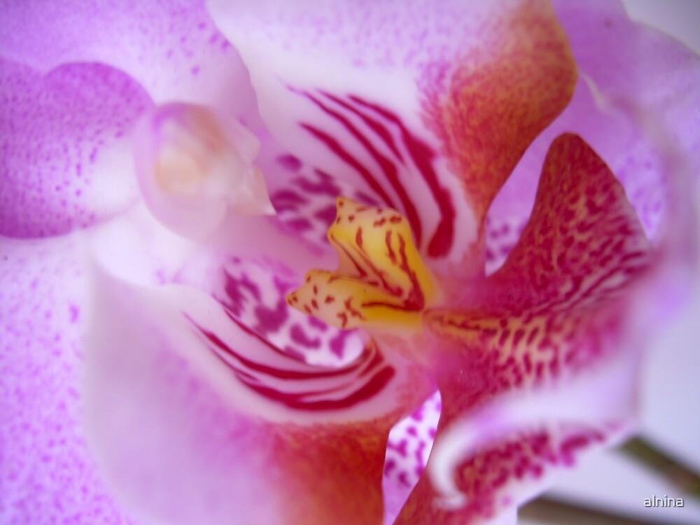 Orchid by alnina