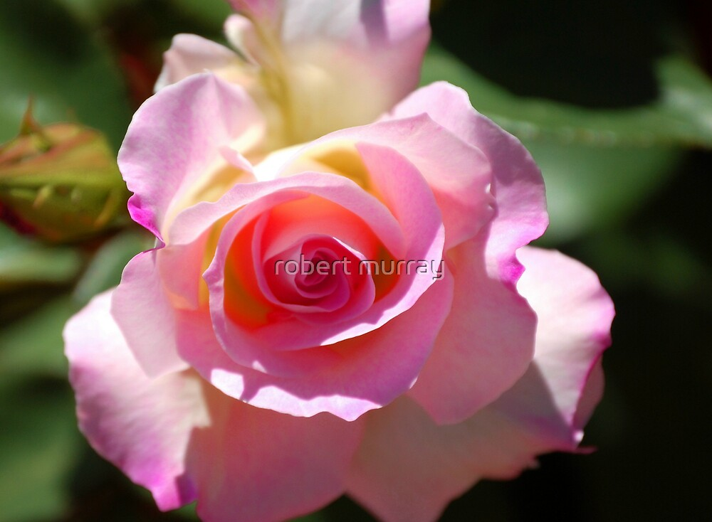 pink flesh by robert murray