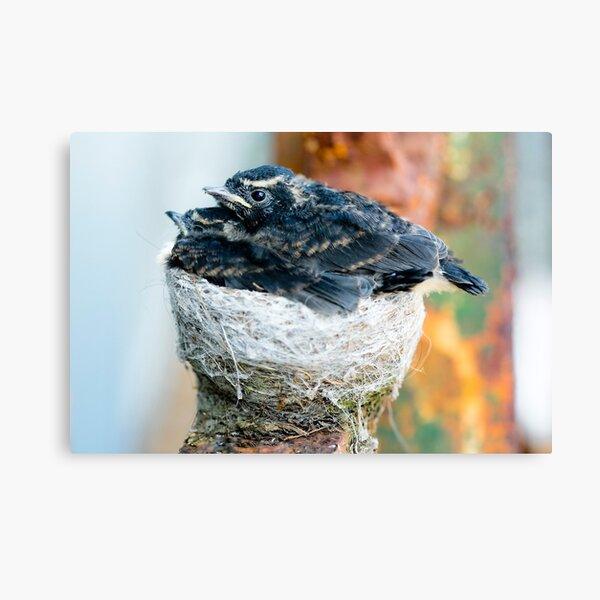 Baby Birds in Nest Canvas Print