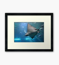Spotted Eagle Ray Framed Print