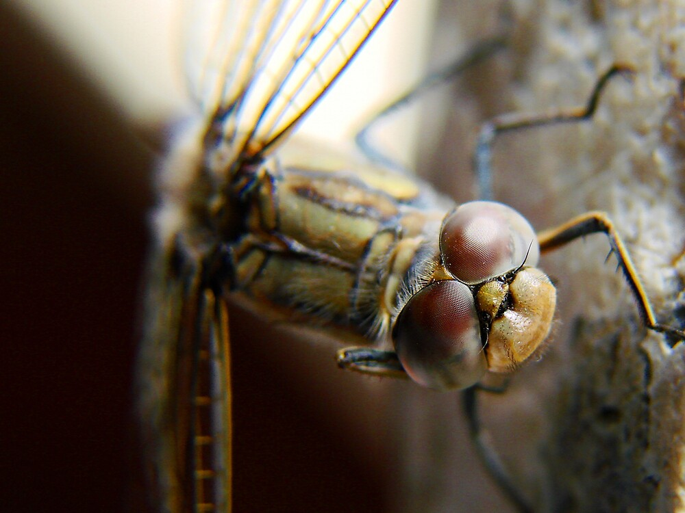 dragonfly1 by diddle