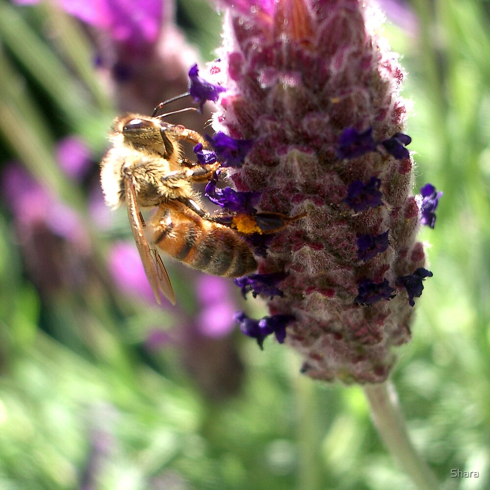 Lavender & Bee by Shara