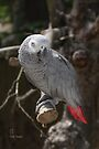 African Grey Parrot by Elaine Teague