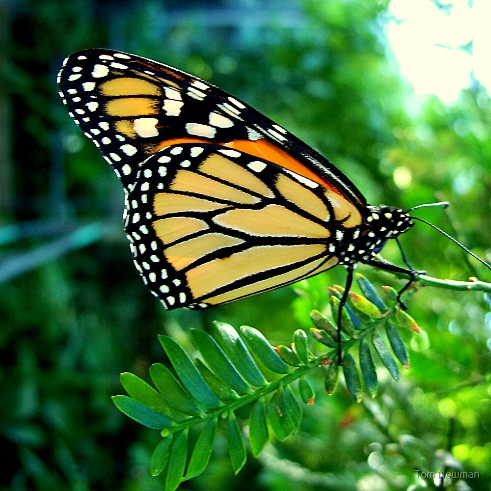 Monarch Butterfly at Melbourne Zoo by Tom Newman