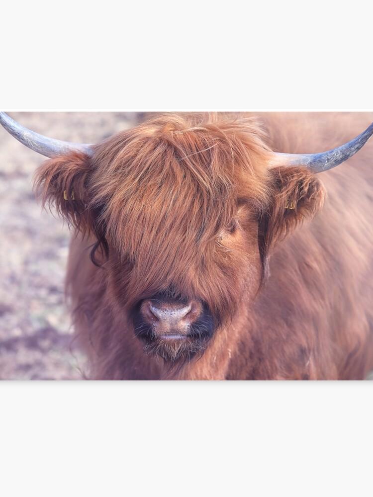 Scottish Highland Cattle Scottish Highland Cattle Canvas Print