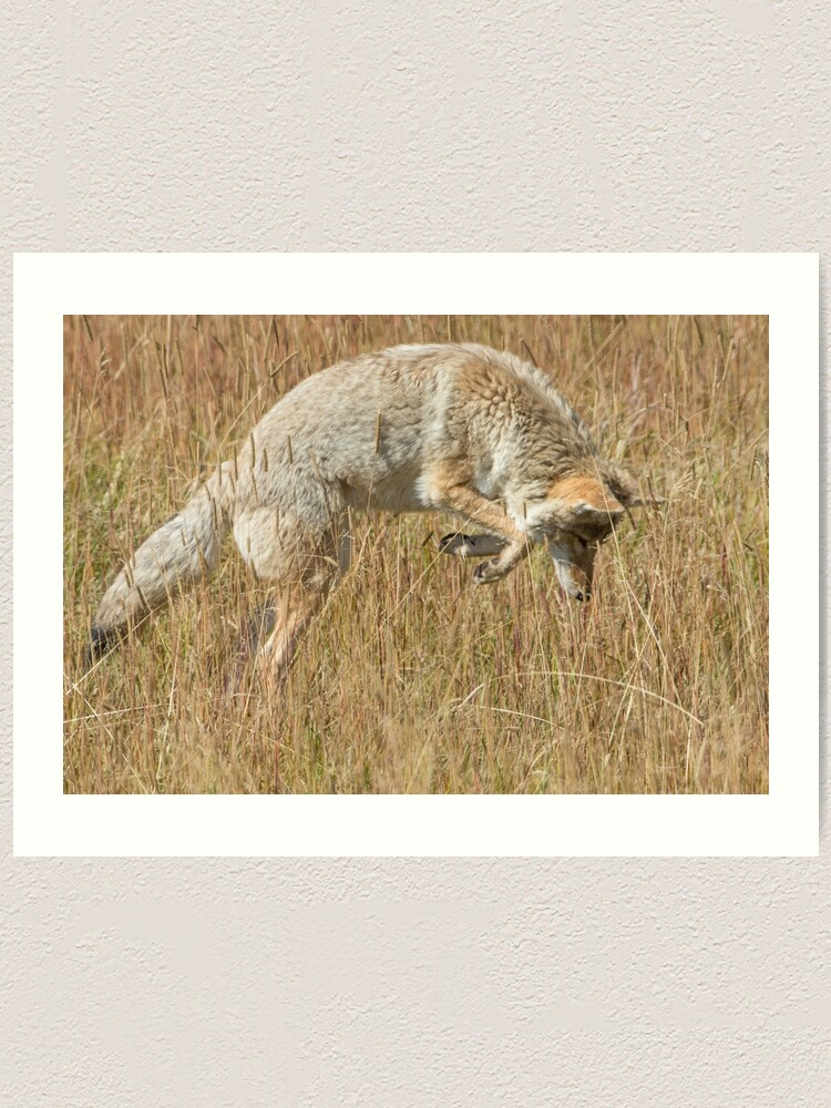 Alternate view of Coyote pounce Art Print