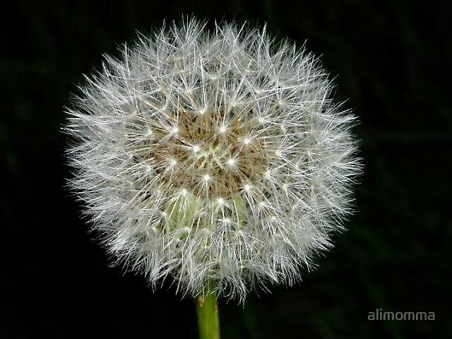 Dandelion clock by alimomma