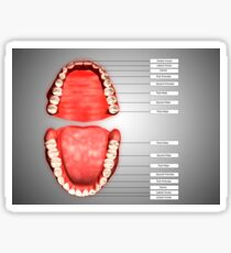 Human teeth structure with labels. Sticker
