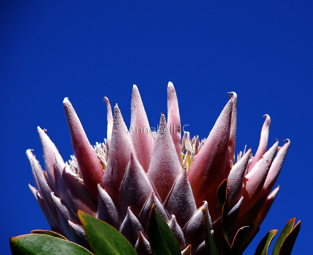 Protea-type by AnnabelHC