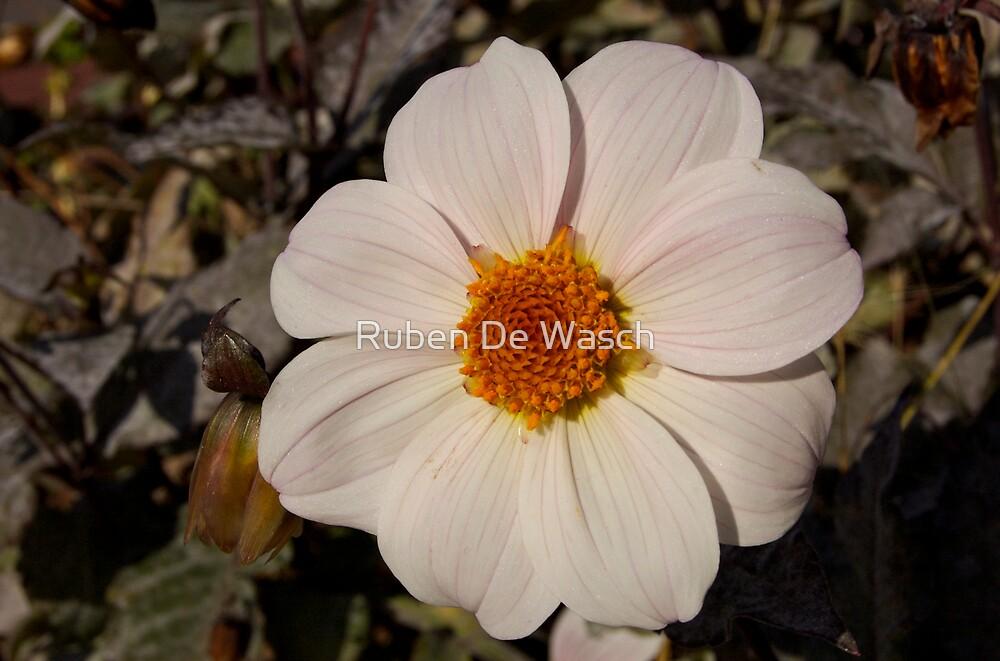 White Flower by Ruben De Wasch