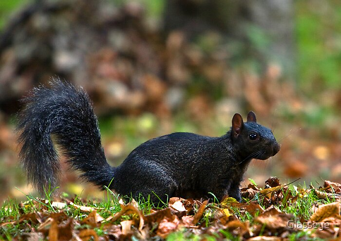 The Black Squirrell by Glasseye