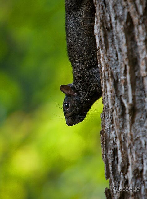 Black Squirrell II by Glasseye