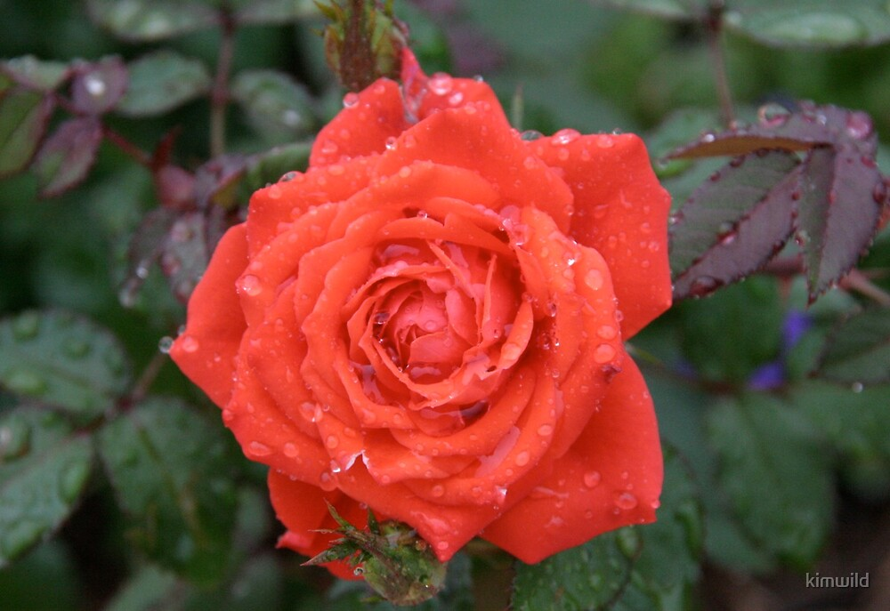 Orange Rose by kimwild