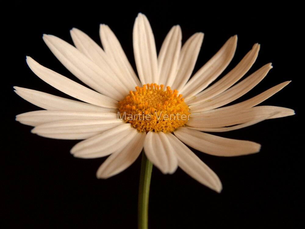 White Daisy by Martie Venter