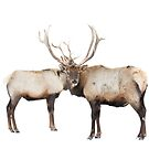 Double take - Elk by Jim Cumming