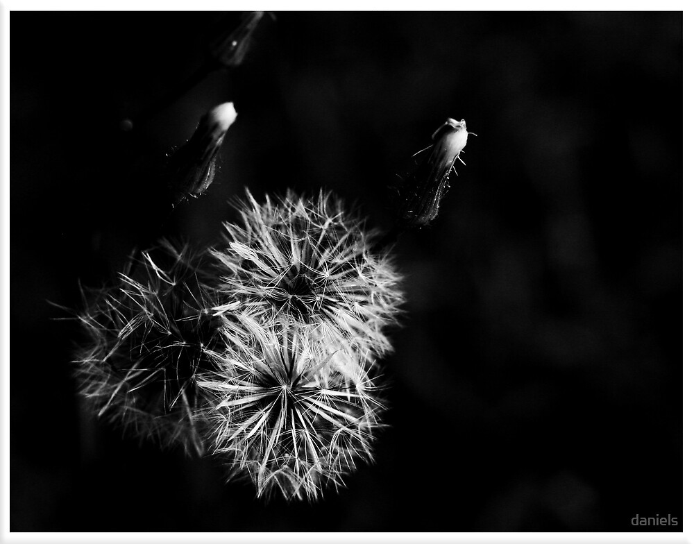 dandelion in BW by daniels