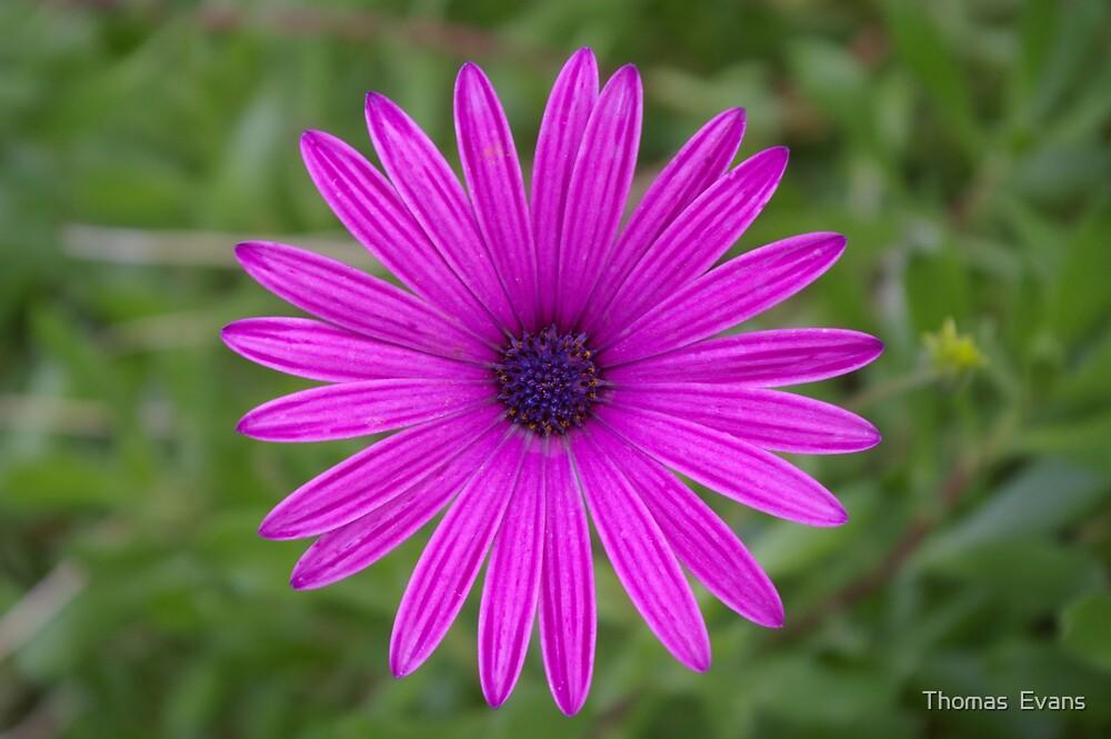 daisy by Thomas  Evans